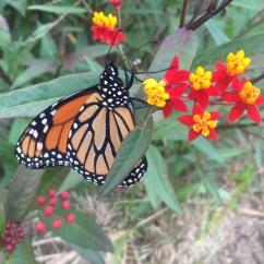 monarch asclepias