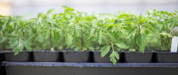 tomato-seedlings-2018.jpg